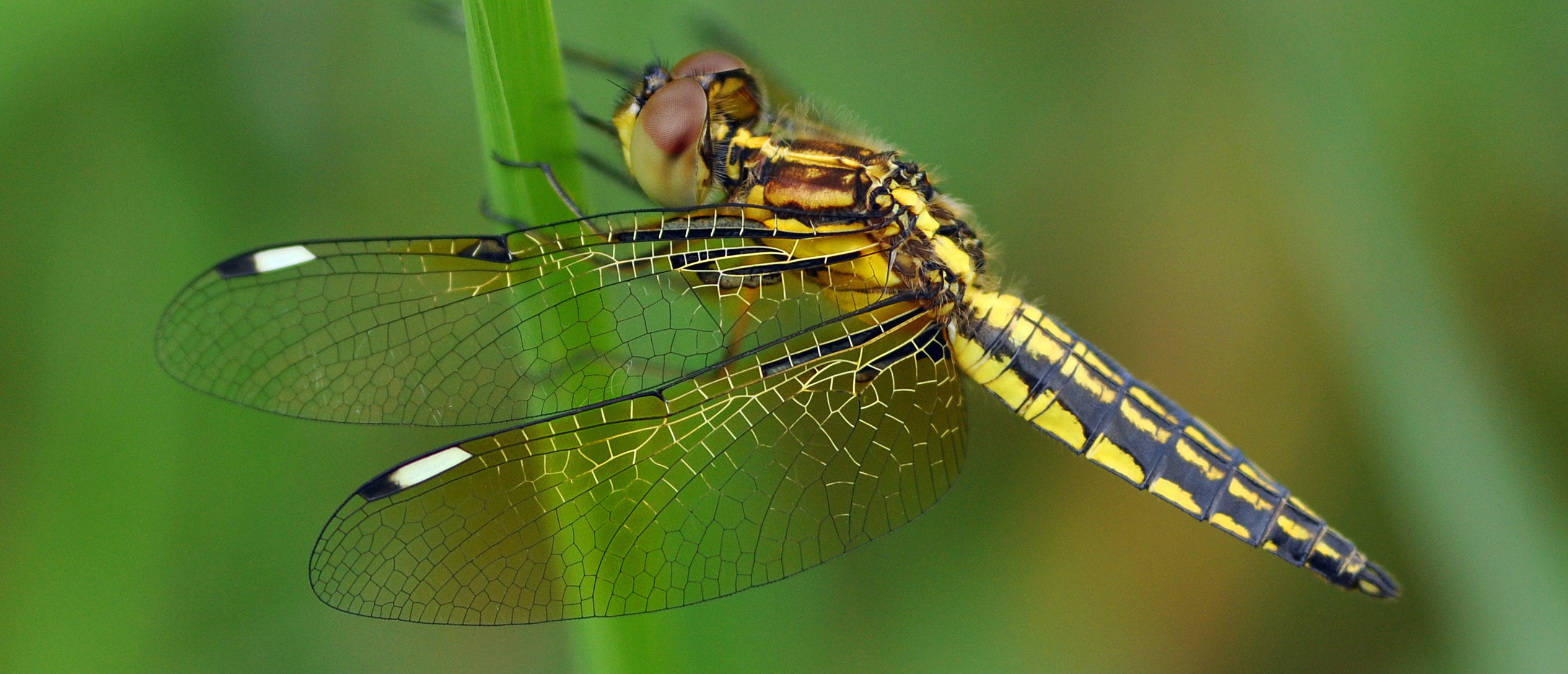 Blue-tailed_Yellow_Skimmer crop